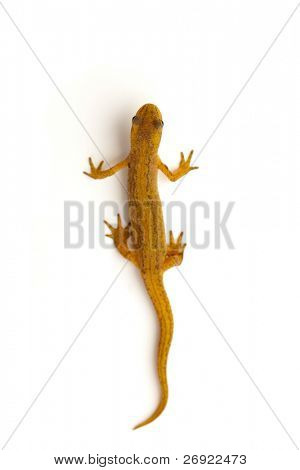 newt isolated on white