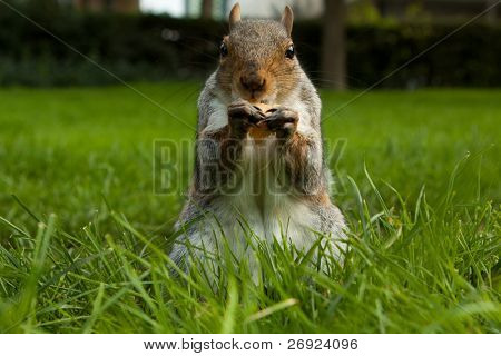 Eating squirrel sittingl on the route in a park in London