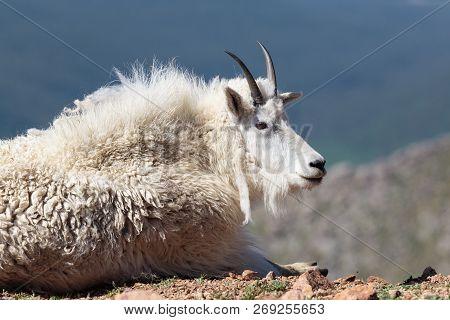 Colorado Wildlife. Wild Mountain Goats Living On Colorado Mountain Peaks.