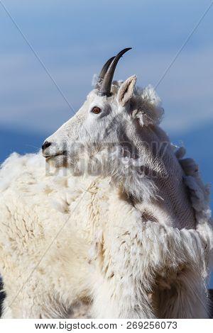 Wildlife Of Colorado. Wild Mountain Goats On Colorado Mountain Peaks.