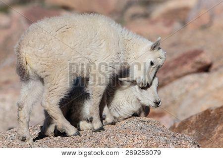 The Wildlife Of Colorado. Wild Mountain Goats On Colorado Mountain Peaks.