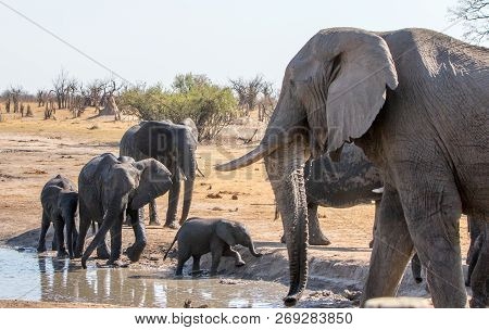 A small family herd of elephants at a water.  The matriarch which has a thick tusk is very close to camera with the family just behind.  There is a natural bush and pale blue sjy background. Hwange National Park, Zimbabwe poster