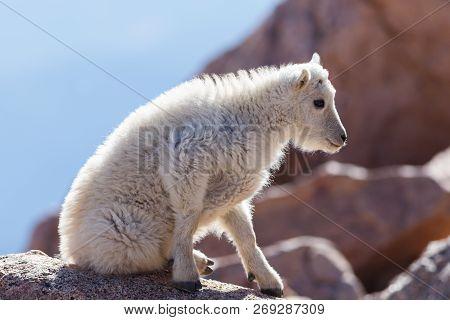 Wildlife Of Colorado - Wild Mountain Goats On Colorado Mountain Peaks.