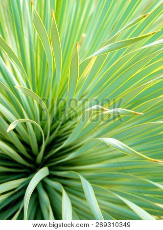 Succulent Yucca Plant Close-up, Thorn And Detail On Leaves Of Narrowleaf Yucca