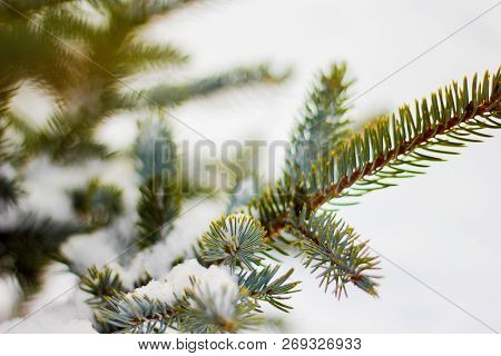 Branch Of Spruce Tree With White Snow. Winter Spruce Tree In The Frost.layer Of Snow On Branches Of
