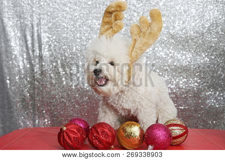 Christmas Puppy. Purebred Bichon Frise dog. Bichon Frise wears Christmas Antlers against a silver sequin background.
