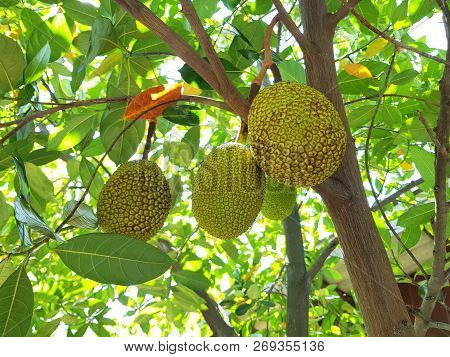 Jackfruits On The Jackfruit Tree, Jackfruits Artocarpus Heterophyllus. Fruit Concept.