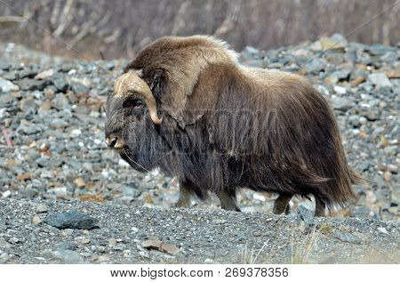 musk ox - Ovibos Moschatus - in natural habitat