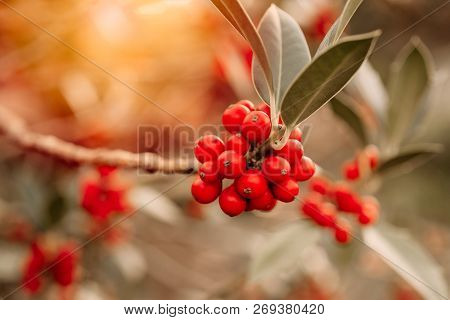 Coffee Plant. Unpicked Red Coffee Beans Growing On A Branch Of Coffee Tree. Branch Of A Coffee Tree