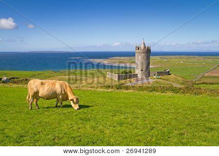 Doonagore castle with Irish cow near Doolin - Ireland