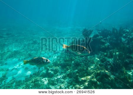 A shoal of fishes in Caribbean Sea, Mexico poster