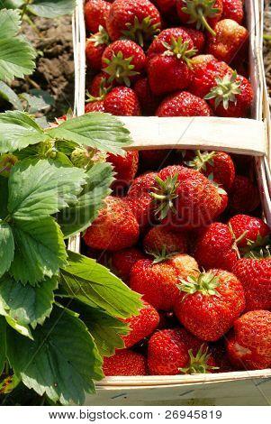 Strawberries on field
