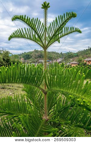 Chinese Pine Tree At The Top Of Branchwith Thorn, Traveling In Thailand