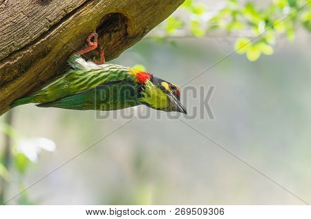 Coppersmith Barbet Megalaima Haemacephala In Real Nature