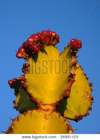 Transvaal candelabra tree (Euphorbia cooperi) in South Africa - closeup