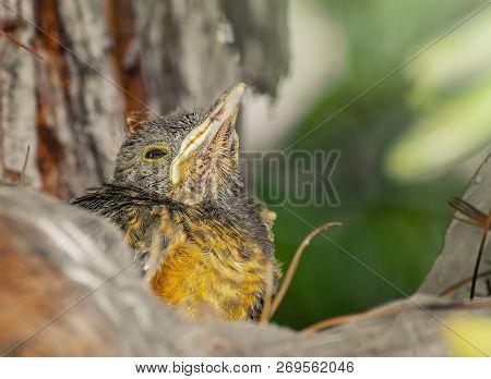 Baby Bird Looking Upward Waiting For Mom To Bring Food. Sad Eyes. Rufous-bellied Thrush. Turdus Rufi