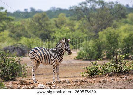 Plains Zebra In Green Savannah In Kruger National Park, South Africa ; Specie Equus Quagga Burchelli