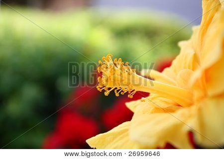 Hibiscus, also said rosemallow.