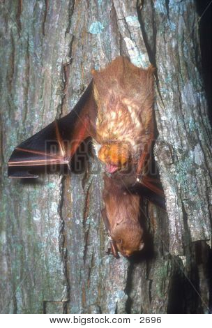 Bat With Baby