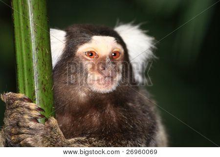 Lemur Iustiti