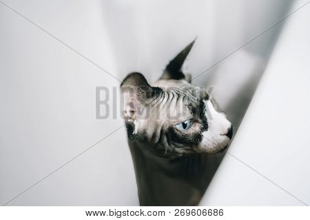 Canadian Hairless Sphinx Cat With Bright Blue Eyes Sits Near Window Sill With Houseplants In Front O