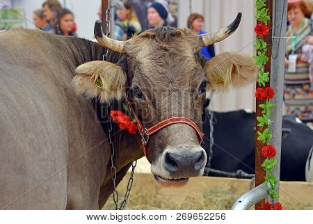 Moscow, Russia - October, 2016: A Cow Of Kostroma Breed On The Exhibition