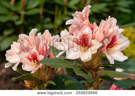 Rhododendron Hybrid Amber Kiss (rhododendron Hybride), Close-up To The Flower Head