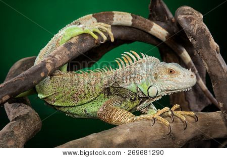 Iguana Clambers On Branches On Dark Green Background. Animal Themes