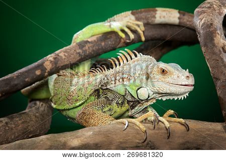 Iguana Clambers On Branches On Dark Green Background. Animal Theme