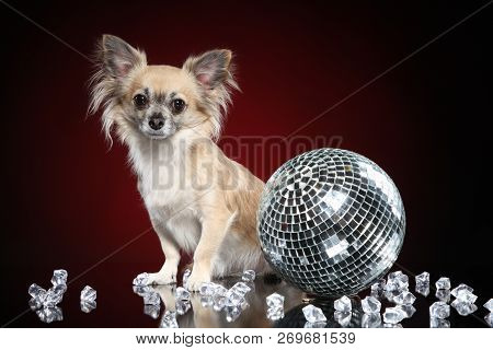 Chihuahua Dog With Discoball On Dark Red Background