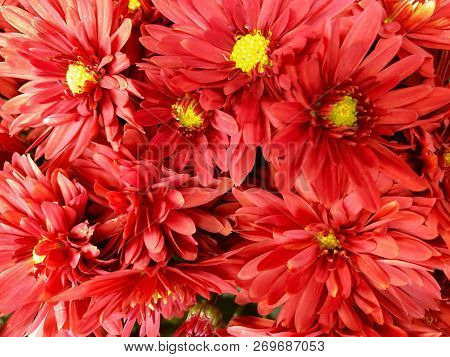 Close Up Overhead Image Of Orange And Yellow Mum Flowers In Full Bloom
