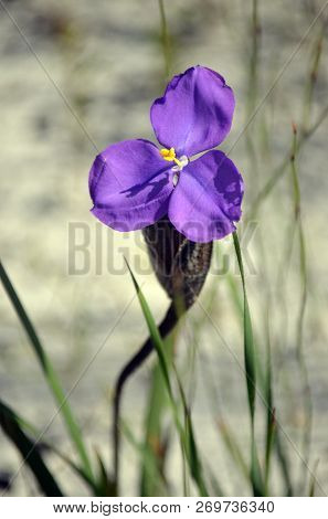 Australian Native Silky Purple Flag Iris Wildflower, Patersonia Sericea, Family Iridaceae, Flowering