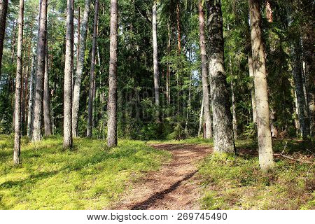 Beautiful green summer forest. Green coniferous forest. Northern forest. Walk through the forest. Journey through the forest. Tourism in the North of the country. Forest reserve. Pine forest. Spruce forest. Mixed forest. Path in the forest