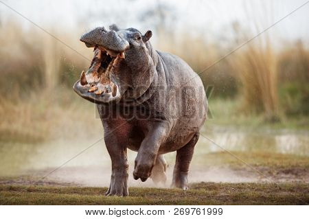 Aggressive Hippo Male Attacking The Car. Huge Hippo Male Intimidating The Opponent. Wild Animal In T