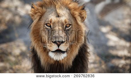Big Lion Male Portrait In The Warm Light. Wild Animal In The Nature Habitat. African Wildlife. This