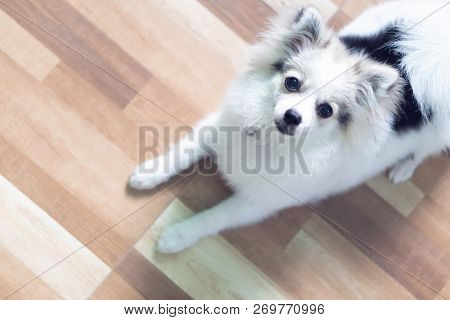 Closeup Face Of Puppy Pomeranian Looking At Camera, Dog Healthy Concept, Selective Focus