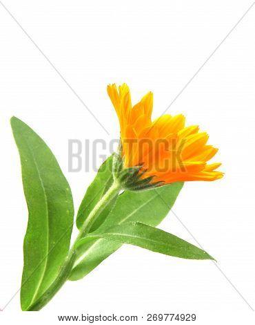 Marigold - Calendula Officinalis Isolated On White