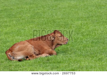 Brown calf in spring lying on the grass. poster