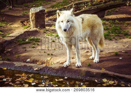 Arctic Wolf Or Polar White Wolf (subspecies Of Gray Wolf) Looking At Camera In Autumn Fall Day.