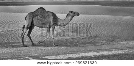 Lone Camel Walking Along A Road At Sunset In The Desert Artistic Conversion