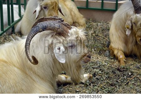 Moscow, Russia - October, 2016: Goat Breed Orenburg Wool On The Agro-industrial Exhibition