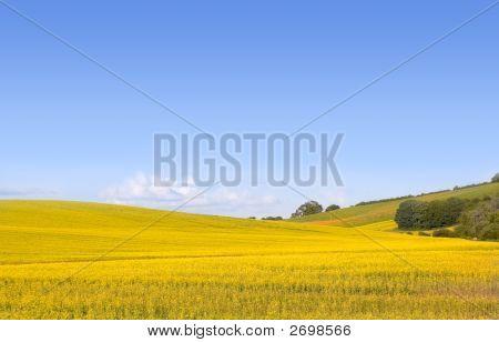 Yellow Field Of Canola