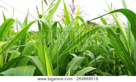 Green Corn Field / Close Up Of Tree Corn In Green Farm Of Fresh Plants Growing In Agriculture Field