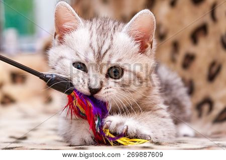 Kitten playing with feather wand - small British kitten gray white color chews cat toy looking at the camera close-up