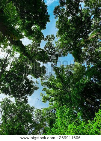 Bottom View Of Green Tree In Tropical Forest With Bright Blue Sky And White Cloud. Bottom View Backg