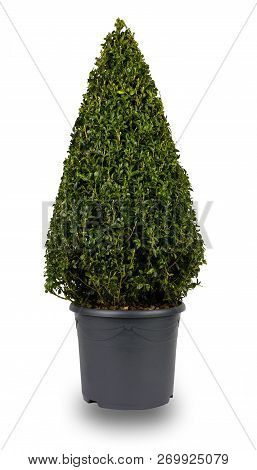 Isolated Image Of A Cone Shaped Privet Bush, In A Grey Flower Pot.