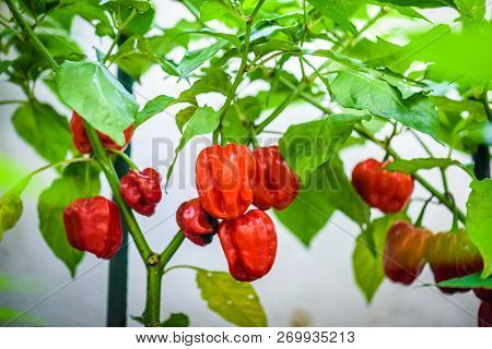 Red Hot Chilli Pepper Habanero Red Caribbean On A Plant.