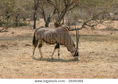 Oryx antílope Toro