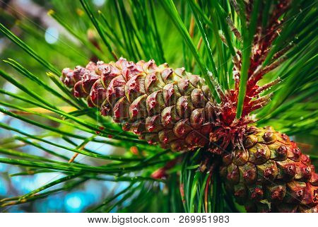 Pine Cone On The Evergreen Pine Three Branch. Fir-tree, Conifer, Spruce Close Up, Blurred Background
