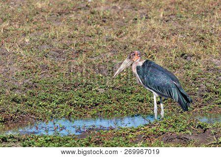 big scavenger Marabou storks (Leptoptilos crumeniferus),large wading bird in the stork family Ciconiidae in the Chobe National Park, Botswana, Africa safari wildlife poster